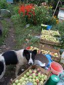 сбор урожая яблок осенью